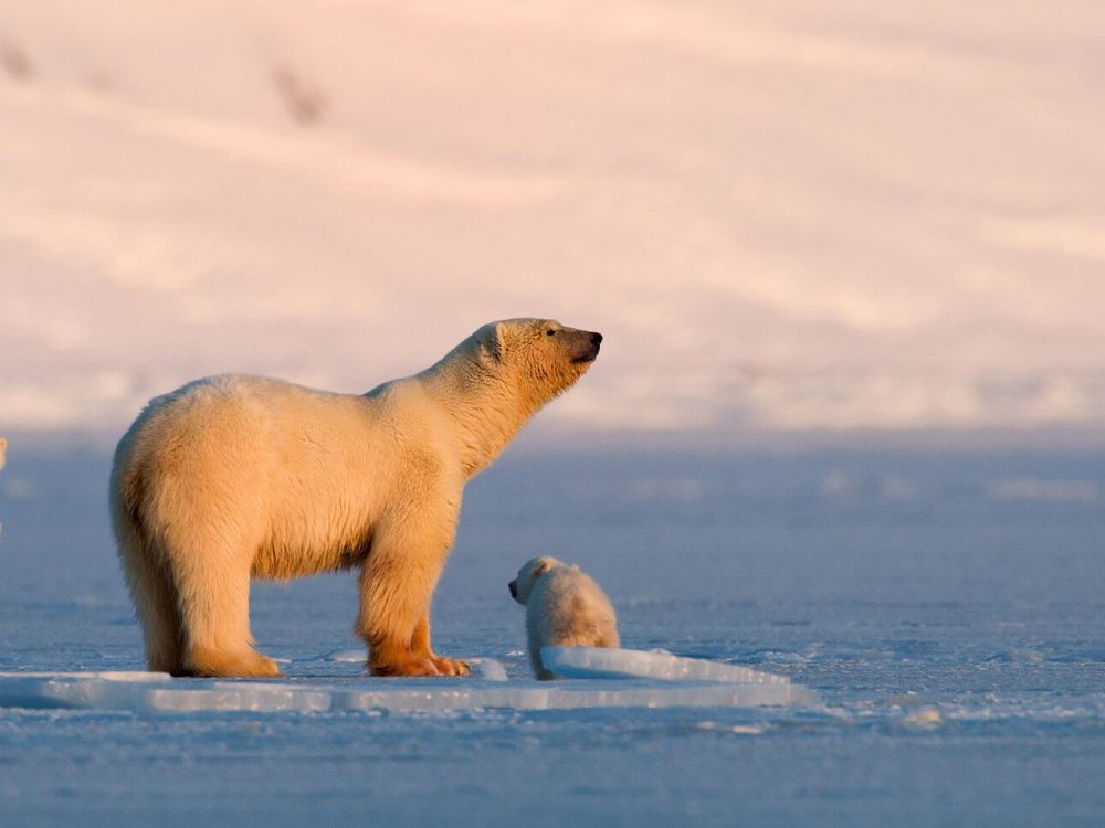 Polar-bear-with-cubs-at-Svalbard-062014-99-0013