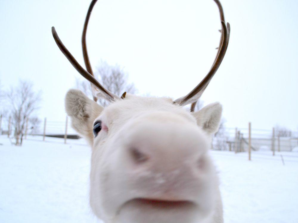 finlande-finland-renne-reindeer_GF